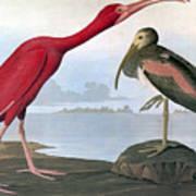Audubon: Scarlet Ibis Art Print