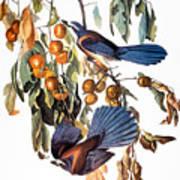 Audubon: Scrub Jay, 1827-38 Art Print