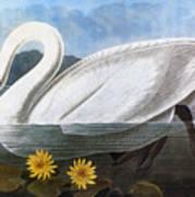 Audubon: Swan, 1827 Art Print