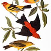 Audubon: Tanager, 1827 Art Print