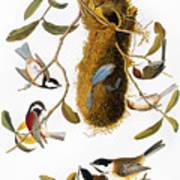 Audubon: Titmouse Art Print