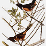 Audubon: Towhee Art Print
