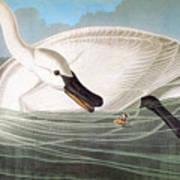 Audubon: Trumpeter Swan Art Print