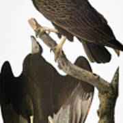 Audubon: Turkey Vulture Art Print
