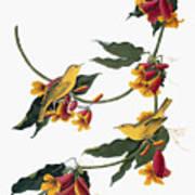 Audubon: Vireo, 1827-38 Art Print