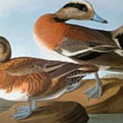 Audubon: Wigeon, 1827-38 Art Print