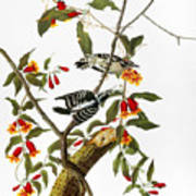 Audubon: Woodpecker, 1827 Art Print