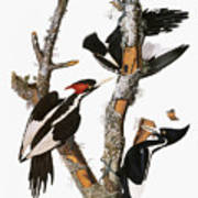 Audubon: Woodpecker Art Print
