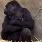Australia - Baby Gorilla In Mums Arms Art Print
