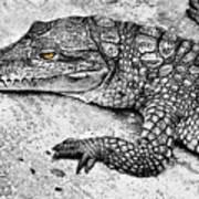 Australian Shy Crocodile  Art Print