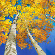 Autumn Aspen Canopy Art Print