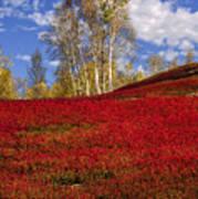 Autumn Birches And Barrens Art Print