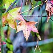 Autumn Color Changing Leaves On A Tree Branch Art Print
