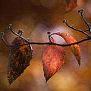 Autumn Dogwood 20121020_11 Art Print