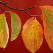Autumn Dogwood Leaves On Red Art Print