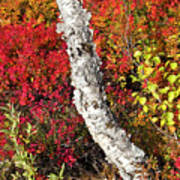 Autumn Foliage In Finland Art Print
