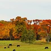 Autumn Minnesota Black Angus Cattle Art Print