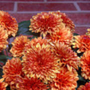 Autumn Mums - Against Brick Art Print