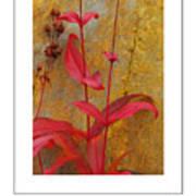 Autumn Penstemon Poster Art Print