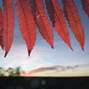 Autumn Red Sumac Leaves Art Print