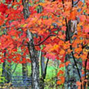 Autumn Sugar Maple Art Print