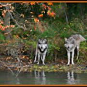 Autumn Wolf Study  Art Print