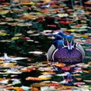 Autumn Wood Duck Art Print
