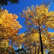 Autumn Yellow Foliage On Tall Trees Against A Blue Sky In Palermo Art Print