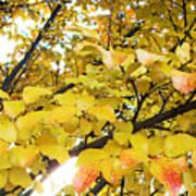 Autumns Gold Art Print