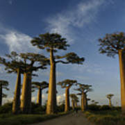 Avenue Des Baobabs Art Print