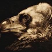 Avvoltoio Art Print