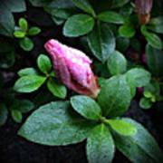 Awakening - Flower Bud In The Rain Art Print