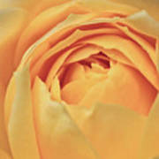 Awakening Yellow Bare Root Rose Art Print by Ryan Kelly