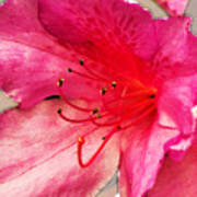 Azalea Blossom Art Print
