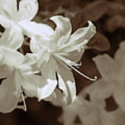 Azalea Flowers In Sepia Brown Art Print