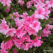 Azalea Watercolor  Art Print by Fred Jinkins