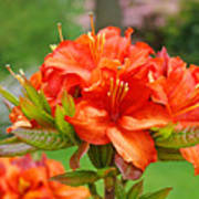 Azaleas Art Home Decor 14 Orange Azalea Flowers Art Prints Greeting Cards Art Print