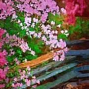 Azaleas Over The Fence Art Print