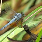 Azure Dragonfly 1 Art Print