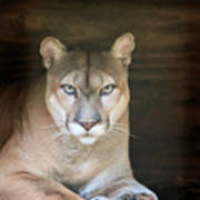 Babcock Wilderness Ranch - Portrait Of Oceola The Panther Art Print