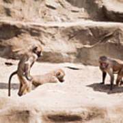 Baboons Monkeys Having Sex Art Print