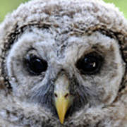 Baby Barred Owl-2 Art Print