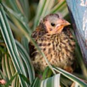 Baby Bird Hiding In Grass Art Print by Douglas Barnett