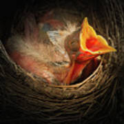 Baby Bird In The Nest With Mouth Open Art Print