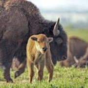 Baby Bison Art Print