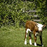 Baby Calf 2 Art Print