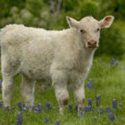 Baby Calf With Bluebonnets Art Print