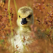 Baby Cuteness - Young Canada Goose Art Print