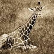 Baby Giraffe In Grasses Art Print