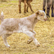 Baby Goat On The Run Art Print